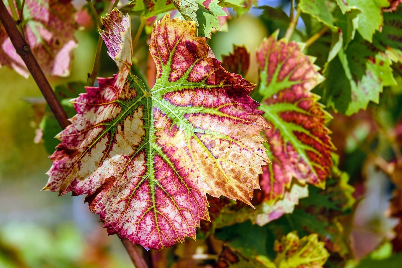 Wine leaf 1720133 1920