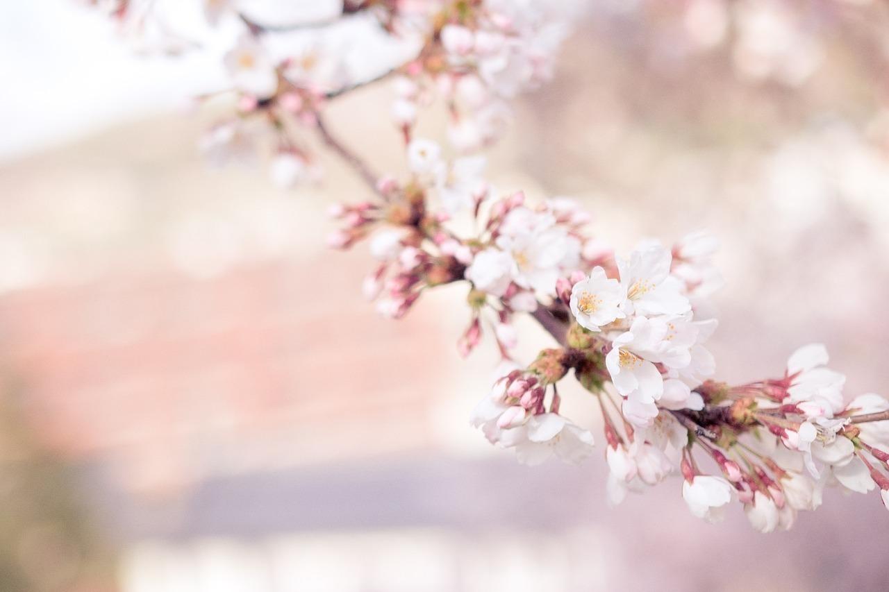 Cherry blossom 1209933 1280