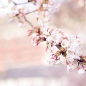 Square cherry blossom 1209933 1280