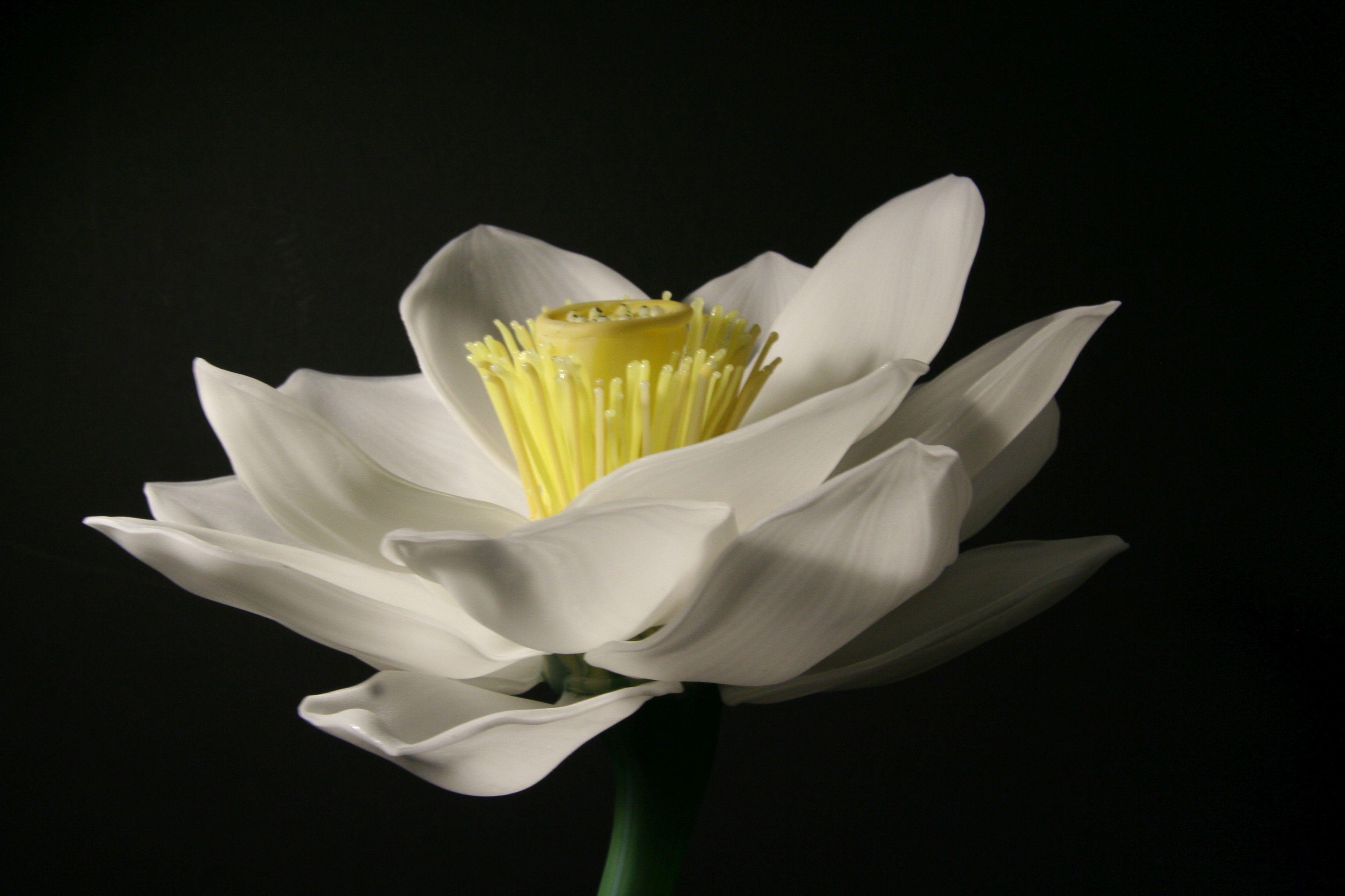 Sally Prasch Lotus