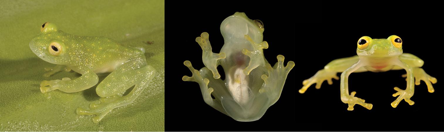 Glassfrog2