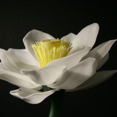 Lotus Flower Side View
