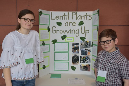 Lentil plants are growing up