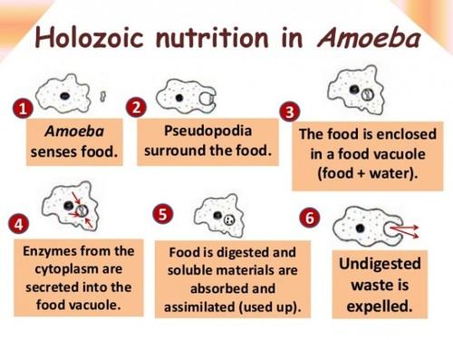 Amoeba research homework help