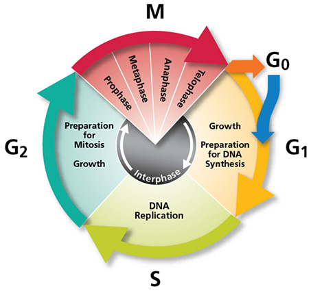 during what stage of the cell cycle does replication occur? enotes cell cycle graph cell cycle diagram with answers #41