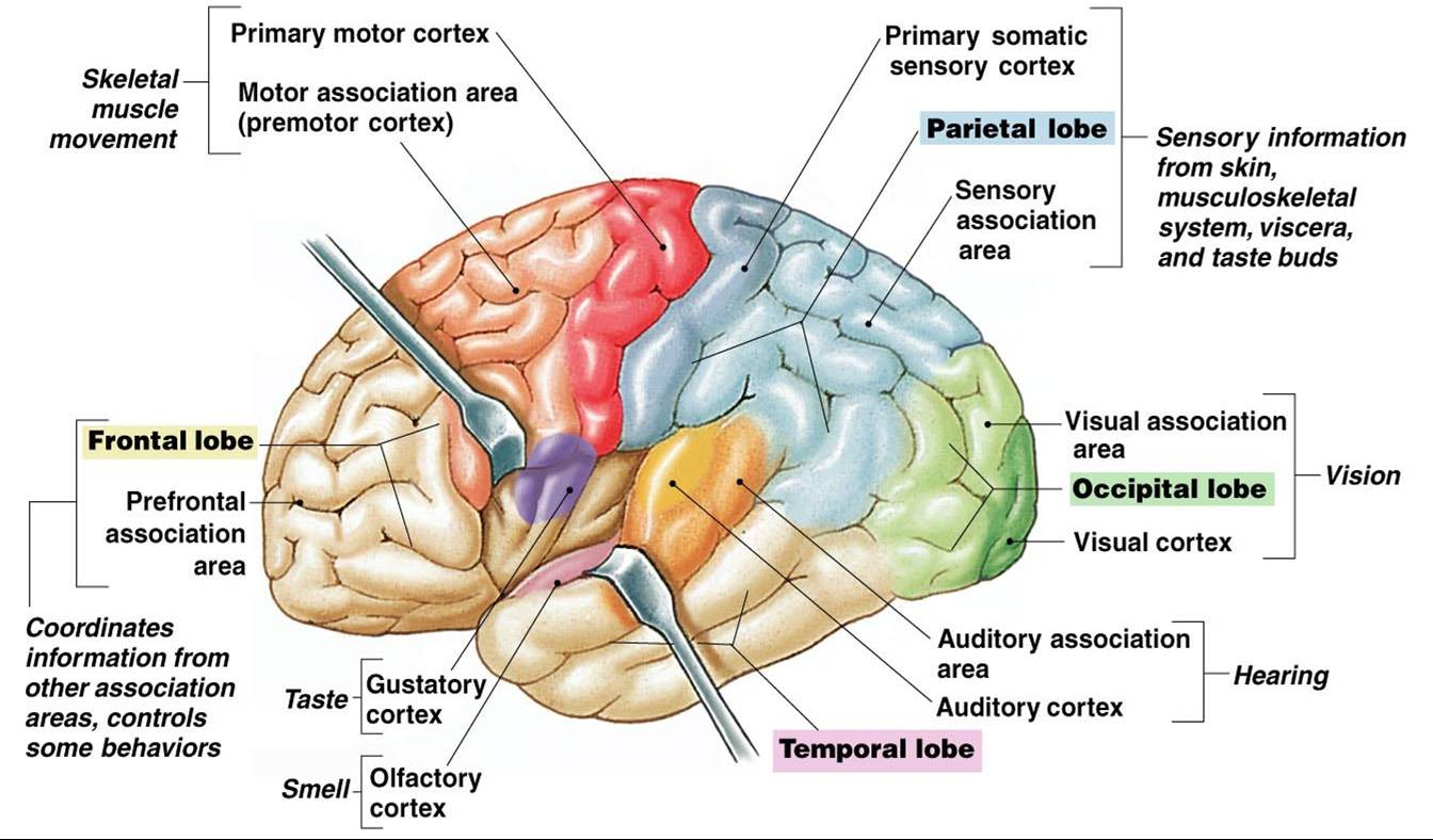 What Area Of The Brain Gives Us Sense Of Smell The Cerebrum