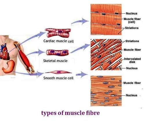 What Are Muscles That You Cannot Control Enotes