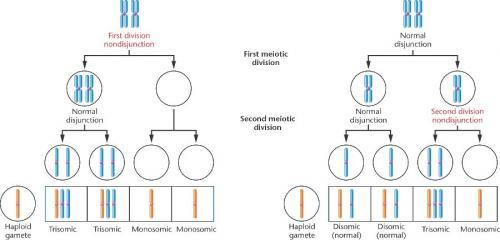 second meiotic division