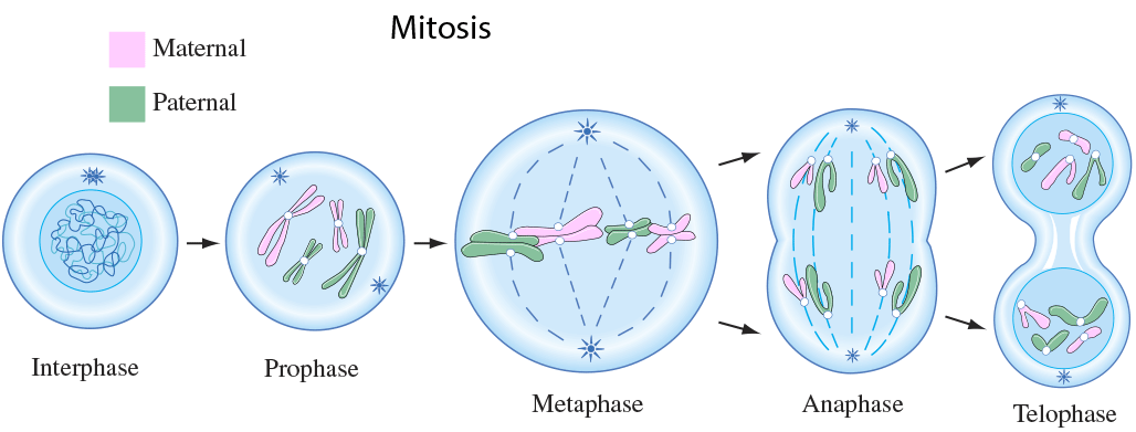 Mitosis related to asexual reproduction