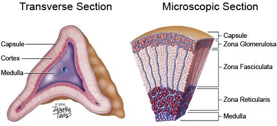kiara maldonado- adrenal gland - by kiara maldonado [infographic], Human Body