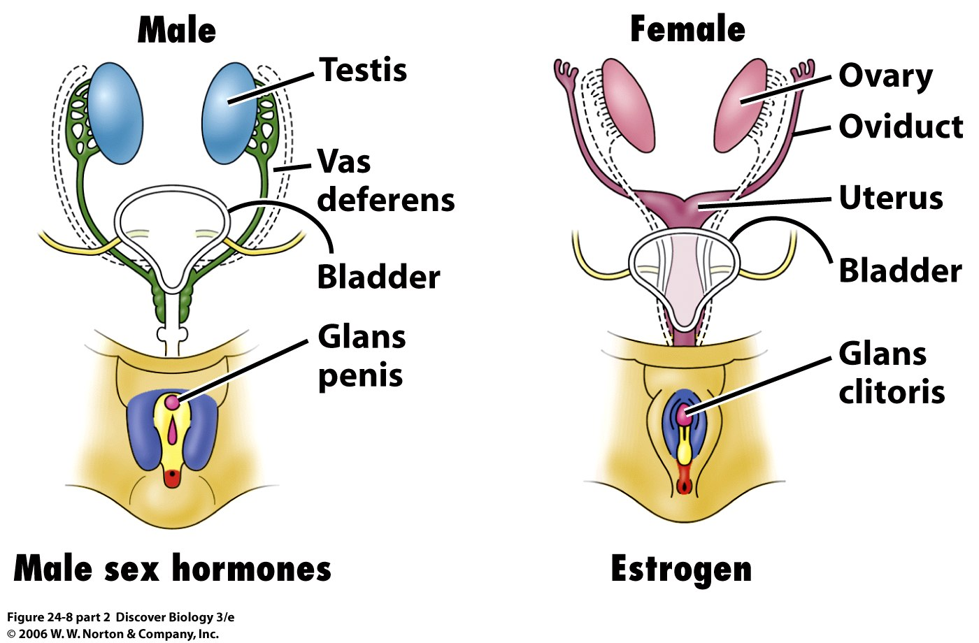 Image result for testis and ovary hormones
