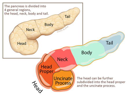 Pancreas Gland - by Carlos Gomez [Infographic]