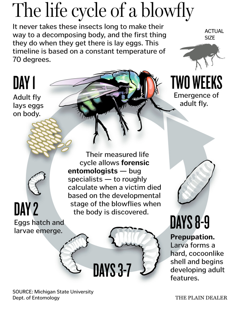 Worksheets Forensic Entomology Worksheet rs forensic entomology by rebekah south infographic