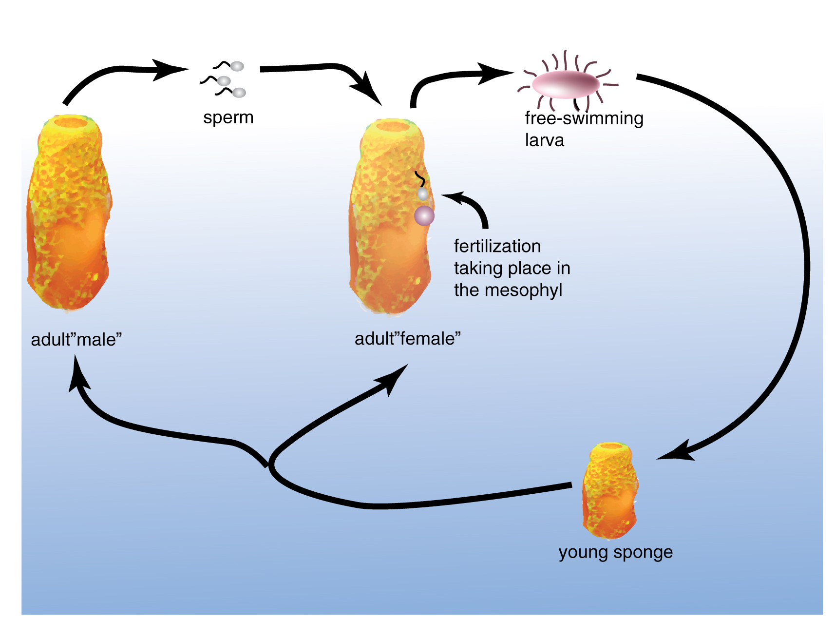 Sponges can reproduce asexually by