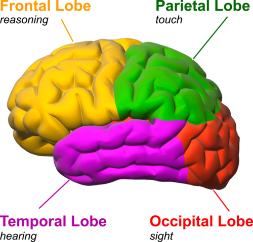 The four parts of brain diagram electrical drawing wiring diagram maggie bahlman health drugs and addiction by maggie bahlman rh infograph venngage com brain lobe function ccuart Image collections