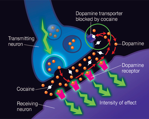 Human brain and effect with drugs by tony brown infographic basic structure of brain ccuart Image collections