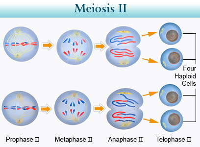 Meiosis by joseph ribando iii infographic meiosis i ccuart Choice Image