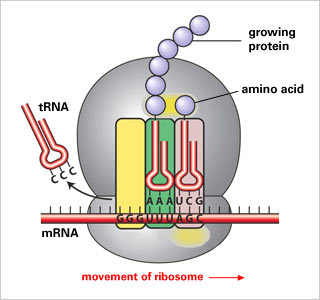 357736 23f48390d70085258843231afc99dfca translation from mrna to protein by jasmin alcala [infographic]