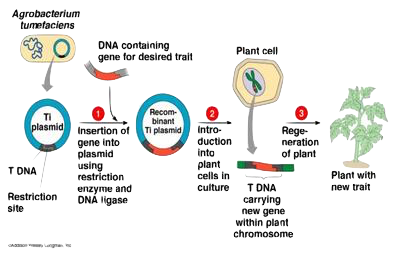 GFP Gene Organisms and their uses - by Jude Olvera [Infographic]