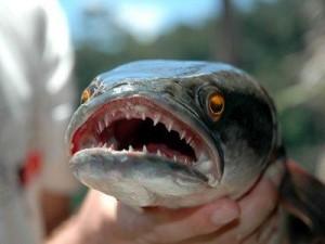 Snakehead Fish By Lebo Motshabi Infographic
