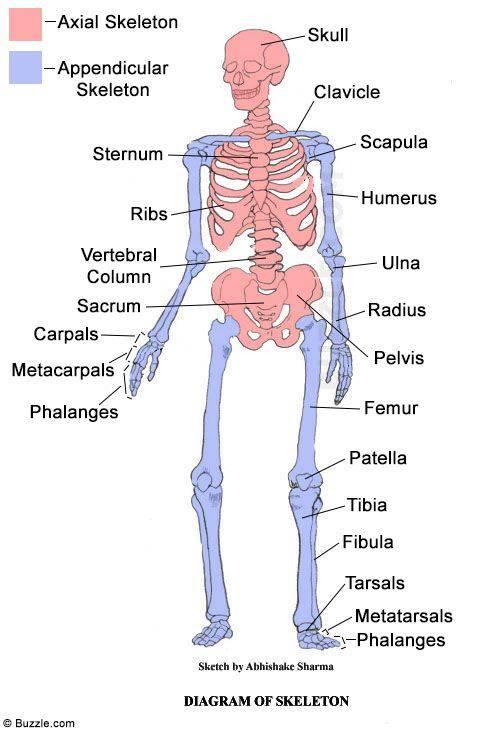 Human Axial Skeleton Diagram - Block And Schematic Diagrams •