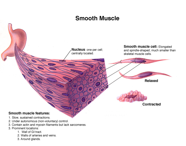 muscular system smooth muscles – citybeauty, Muscles