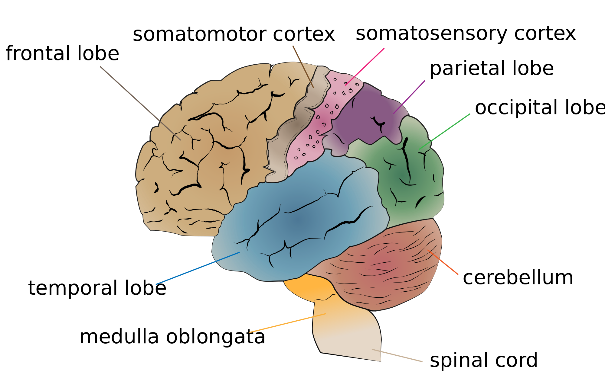 The adult brain