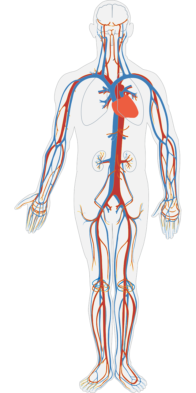 The Anatomy And Role Of The Heart By Destiny Kluck Infographic