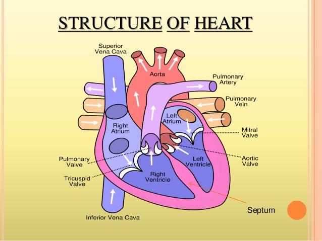 The Human Heart - by Saitheja Pucha [Infographic]