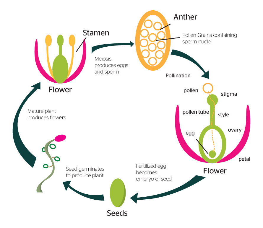 Sexual reproduction in plant cells