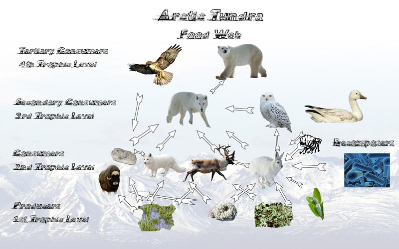 Arctic Tundra By Praewah Gonzaloo Infographic