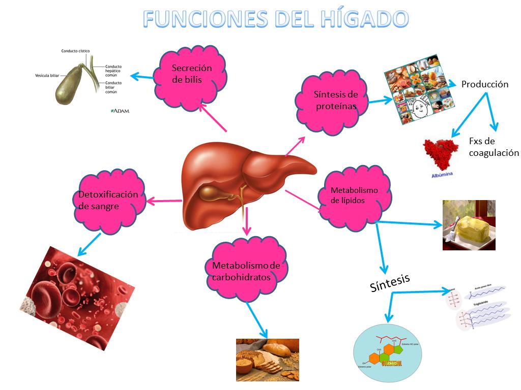 Enfermedades del hígado - by Bibiana Gallegos [Infographic]