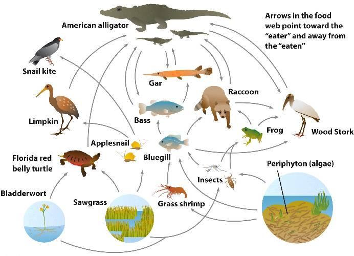 the everglades a food web diagram Food web diagram shatavia hunt bio/101 december 8, 2014 michael shunk food web diagram the everglades ecosystem there are many types of organism, plants and animals that.