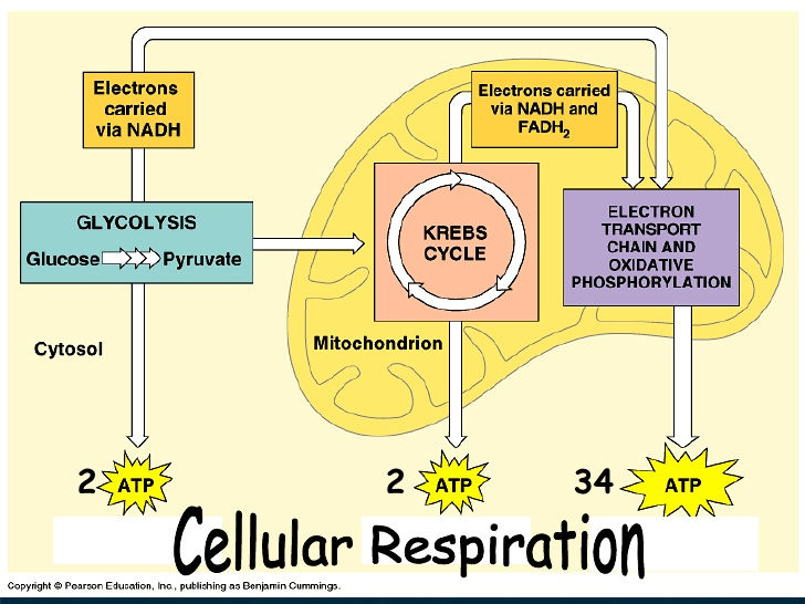 Photosynthesis and cellular respiration by douglas hernandez photosynthesis and cellular respiration by douglas hernandez infographic ccuart Images