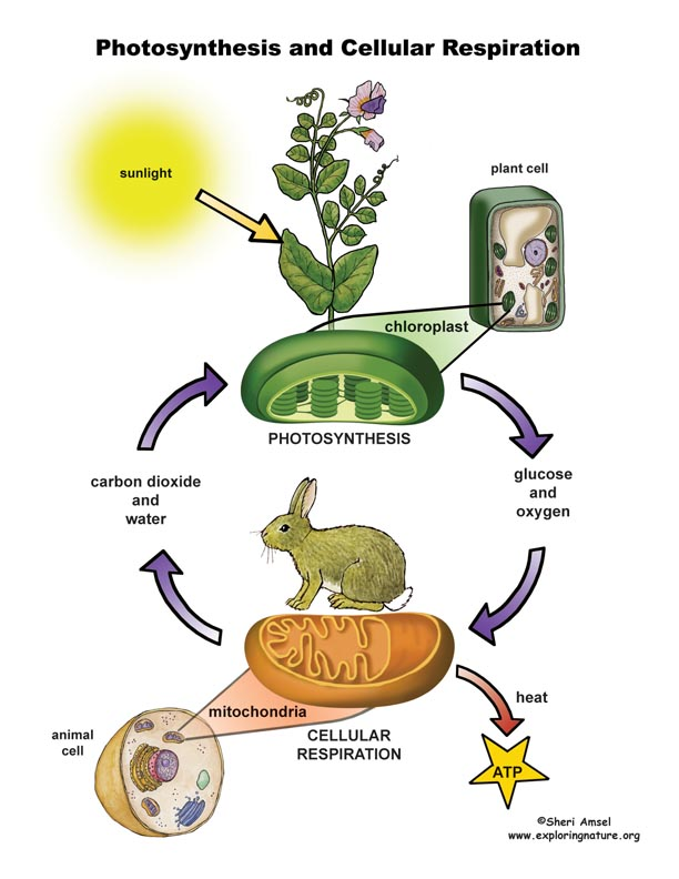 Cellular respiration by camille cabrera infographic ccuart Gallery