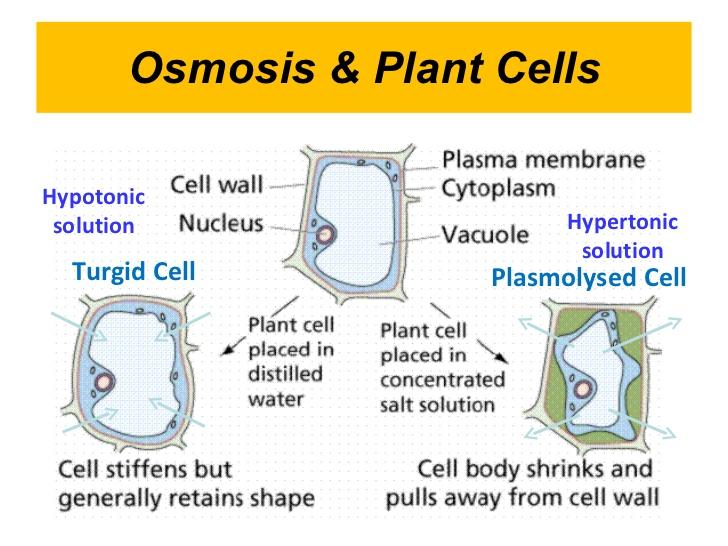 Osmosis In Plant Cells Diagram ~ DIAGRAM