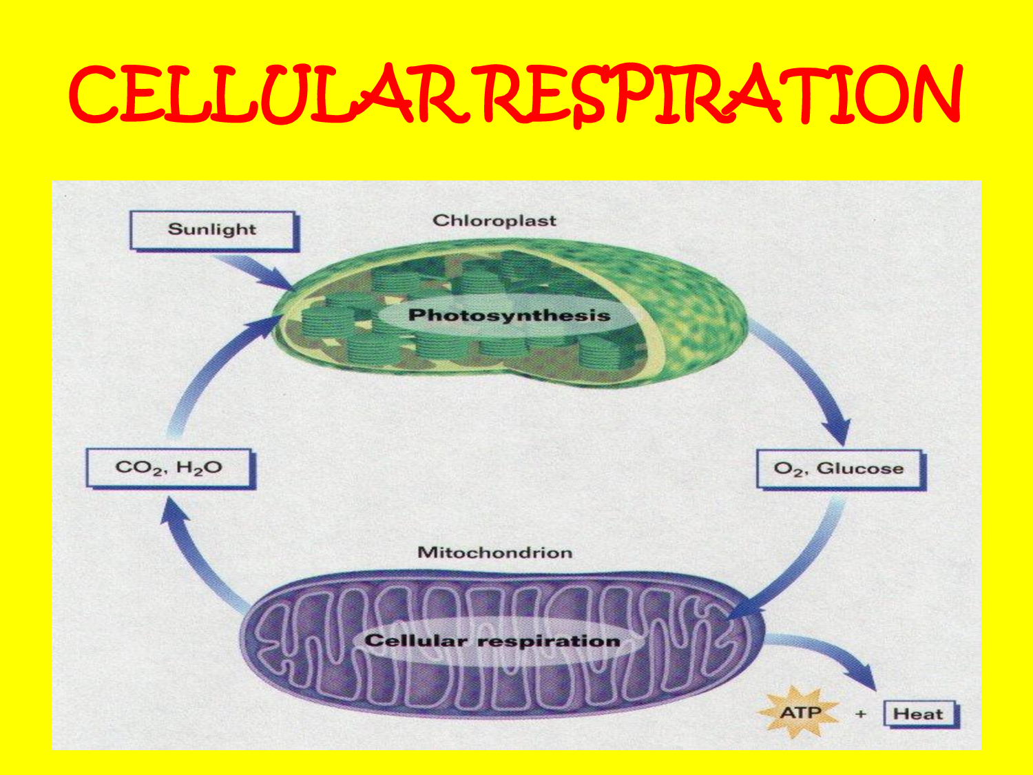 cellular respiration - by amgad hawari [infographic]