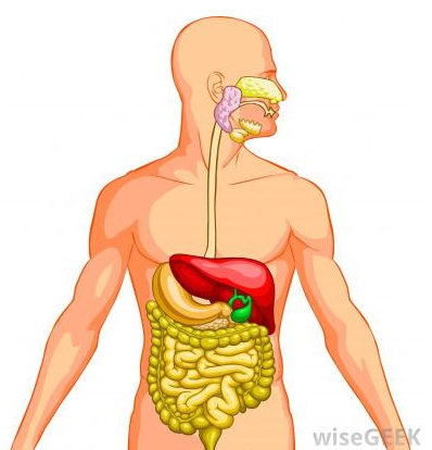 The digestive system by dhruv syngol infographic fun facts ccuart Image collections