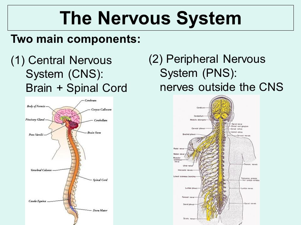 central nervous system vs peripheral nervous system venn diagram ...