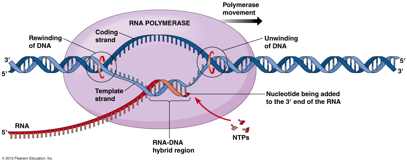 DNA Transcription - by Daniel Fang [Infographic]