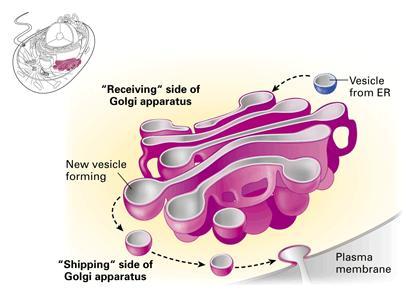 golgi body by cole bray infographic