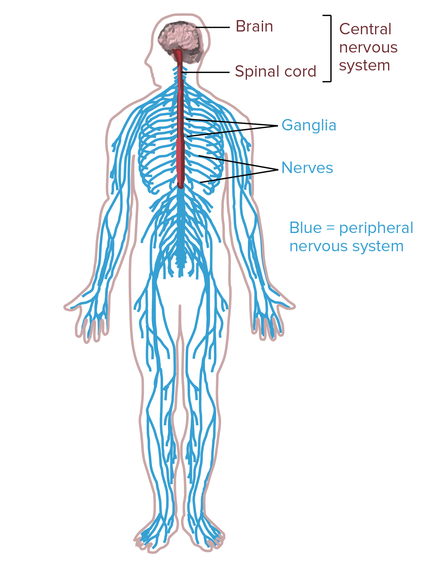 Muscle System By Mika Shaw Infographic