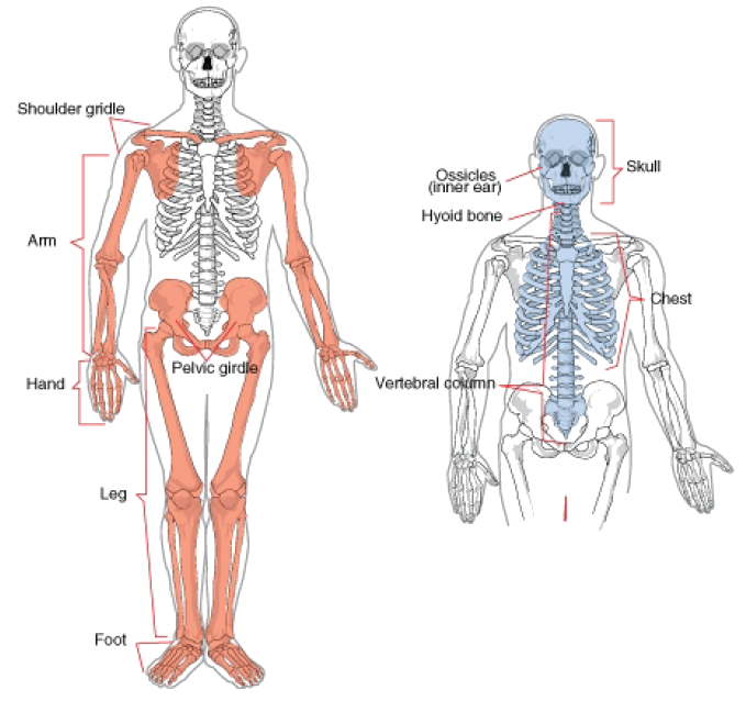 Axial And Appendicular Skeleton Diagram Numbers - Circuit Wiring And ...