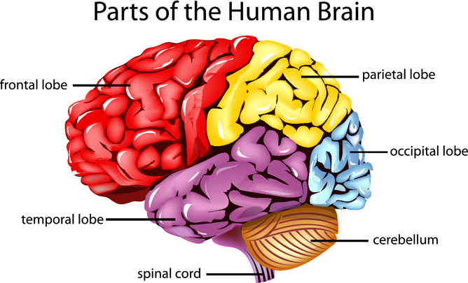 Identify the major landmarks of the brain and their primary identify the major landmarks of the brain and their primary functions by anna orsburn infographic ccuart Images