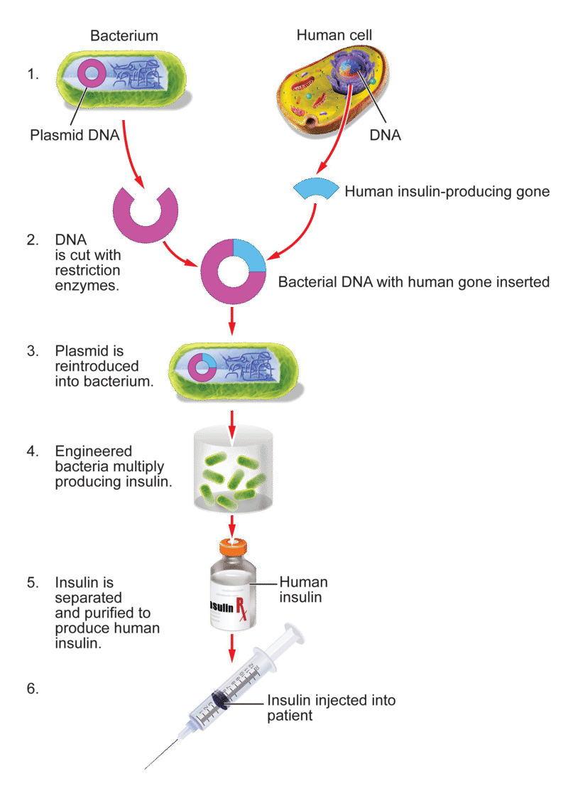 Diagrams Of Genetic Engineering Cons Wiring Diagram And Electrical Genetically Engineered Insulin By Chloe Chang Infographic Rh Infograph Venngage Com Examples Plants