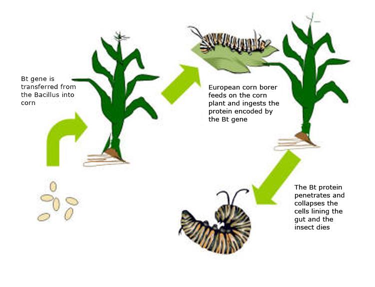 Genetically Engineered Corn Using BT GENE - by facundo cascardo ...