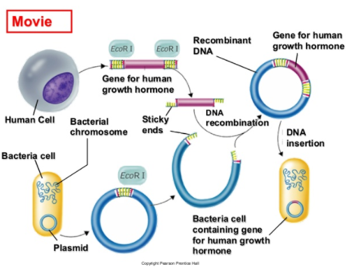 Recombinant DNA and its role in the making of Human growth