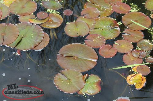 Lilly Pads for Ponds