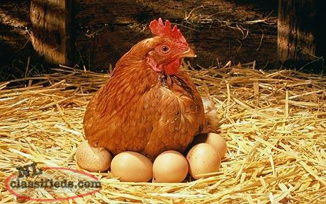 Laying hens wanted. Other types of birds as well.