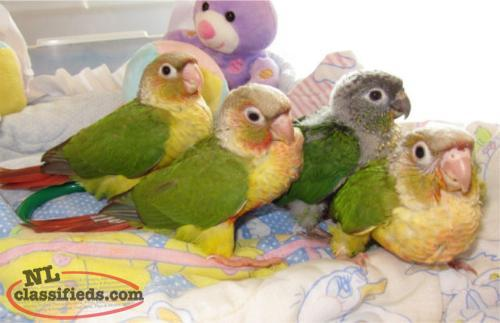 Handfed Babies Pineapple and Yellow Sided Conure